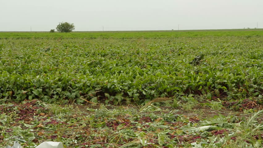 Panoramic shot: field of beet and sacks full of beetroot. - HD stock footage clip