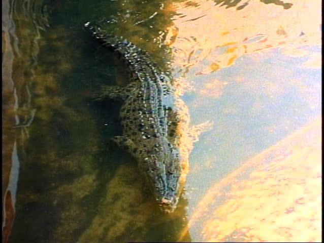 Crocodile swimming in river - SD stock footage clip