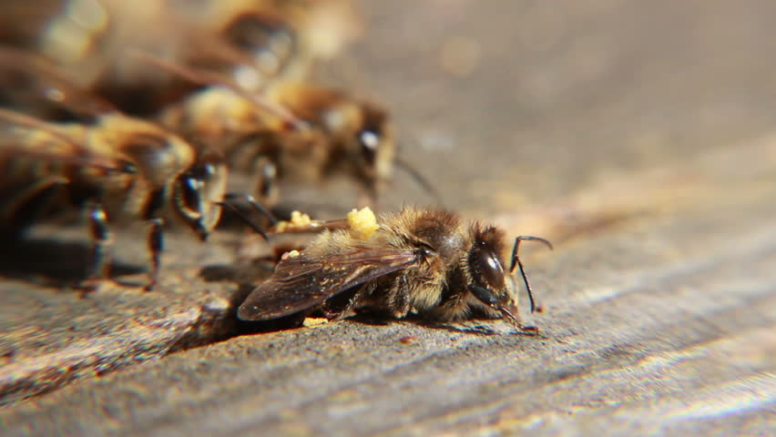Dead  honey bee at the entrance of the beehive. Macro. - HD stock footage clip