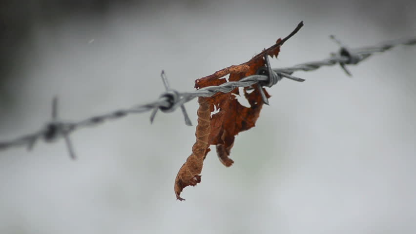 Lonely Leaf snagged on barbed wire fence | Shutterstock HD Video #3702521