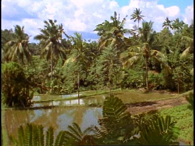 Bali, rice fields in jungle, lush, green, palms, wide shot