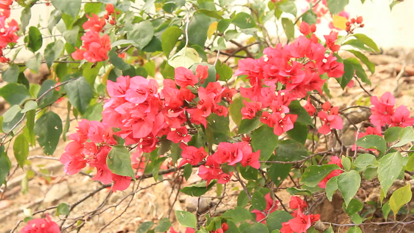 beautiful red flowers - HD stock footage clip
