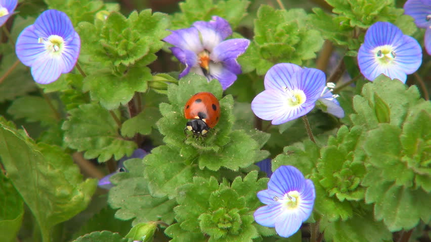 Ladybug Preparing Wings to Fly on Veronica Persica Flower, Ladybird, Bug, Bettle - HD stock video clip