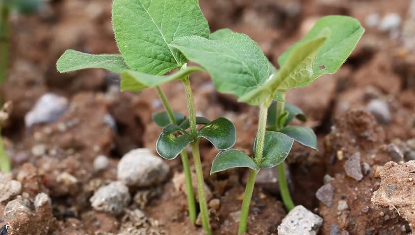 soybean sapling in the spring