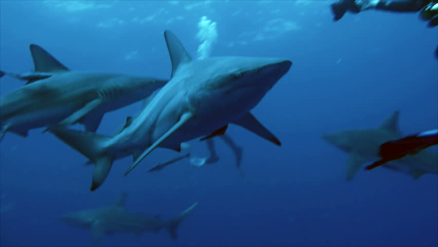 quick pass of shark - HD stock video clip