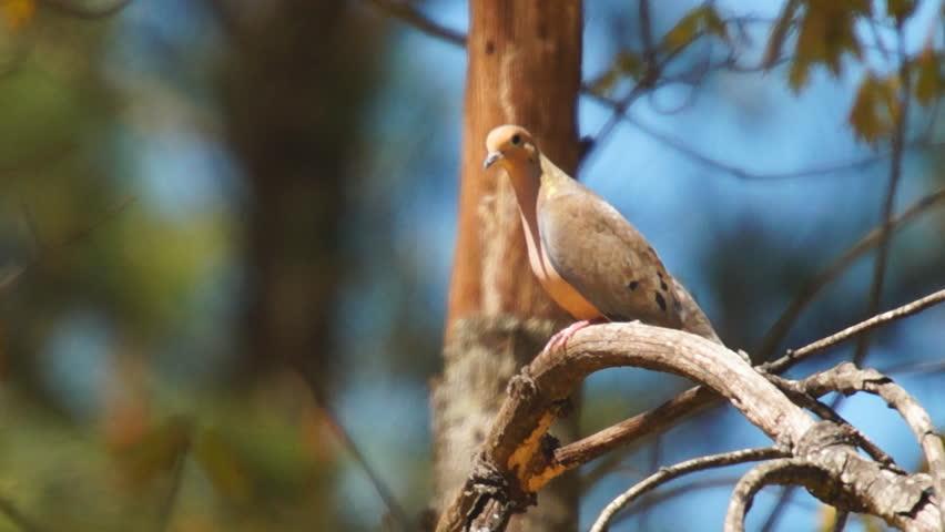 Mourning Dove (Zenaida macroura), popular sport hunting migratory bird.