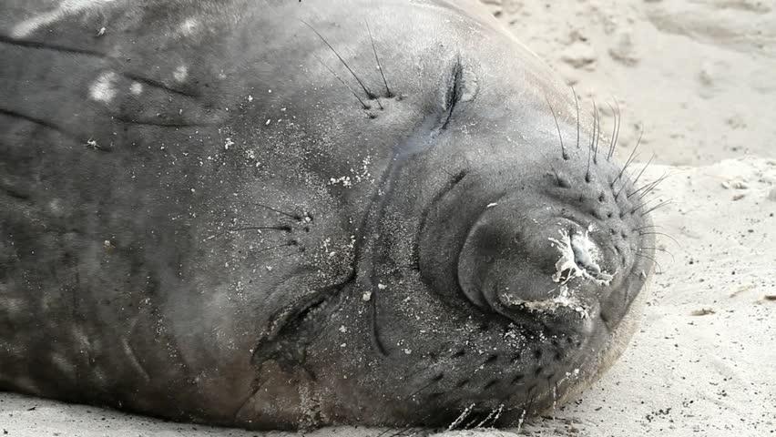Southern Elephant Seal is sleeping