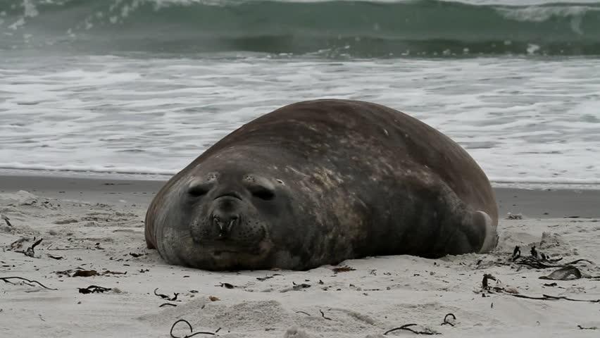 Southern Elephant seal, Falkland Island