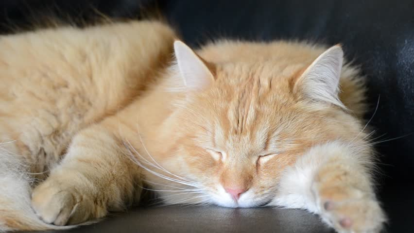 sleeping cat - HD stock footage clip