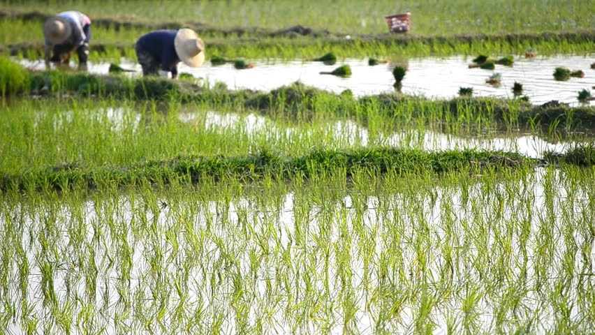 farmer plant rice sprouts in rice farm of thailand