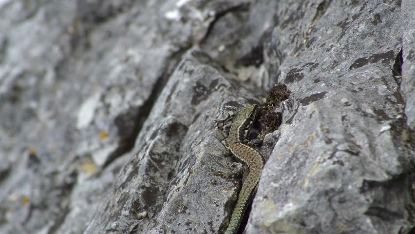 lizard relaxing in the sun - HD stock video clip