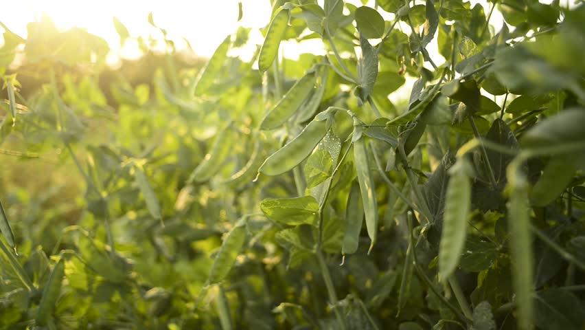 Peas planting in the farm - HD stock video clip