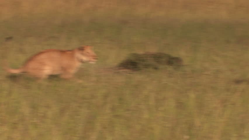 Lions in the high jump - Playing - HD stock footage clip