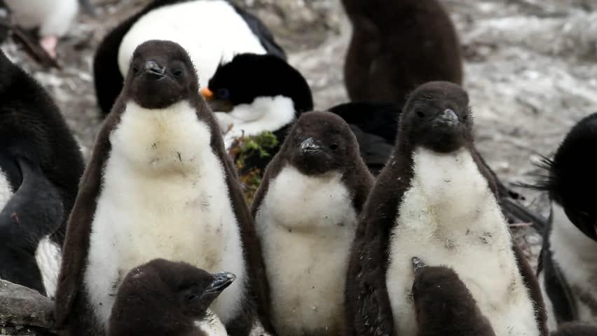 Rockhopper penguin baby - HD stock video clip