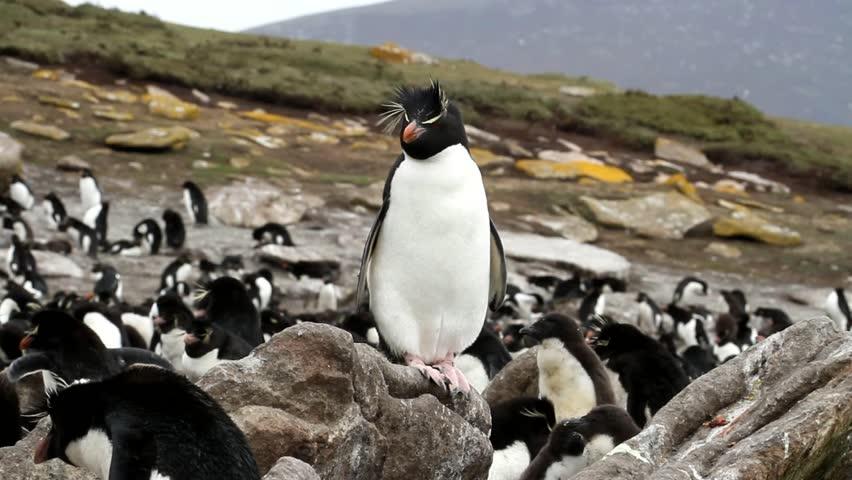Rockhopper penguins sitting on a rock - HD stock video clip