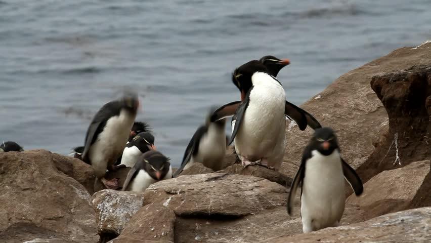 Rockhopper penguins walking uphill - HD stock video clip