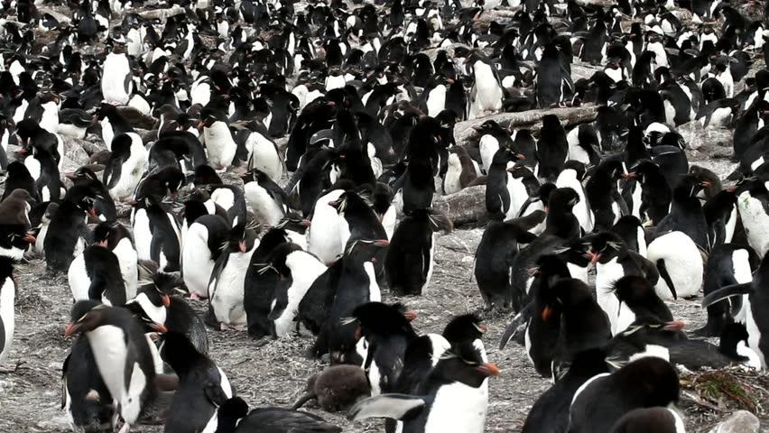Rockhopper penguin colony - HD stock footage clip