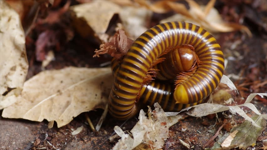 Millipede breed
