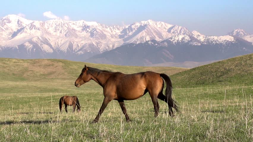Walking Horse. The horse moves slowly against the background of the grazing herd. . Slow Motion at a rate of 240 fps - HD stock video clip