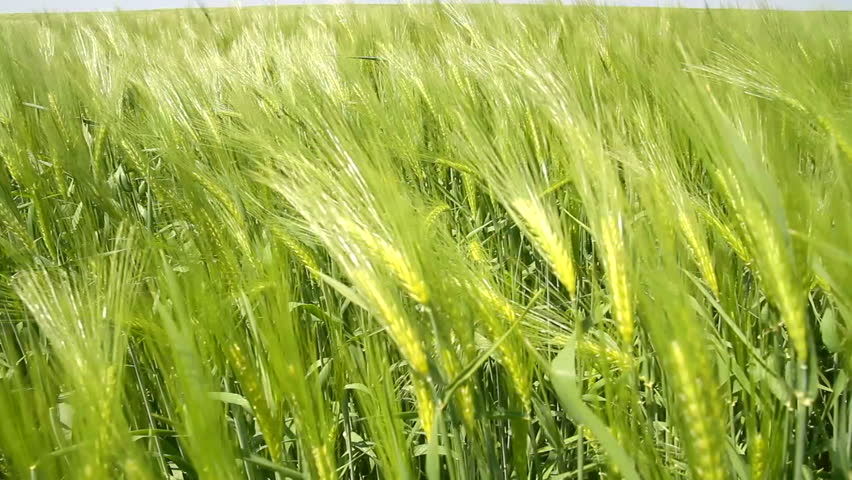 Image result for spring wheat field