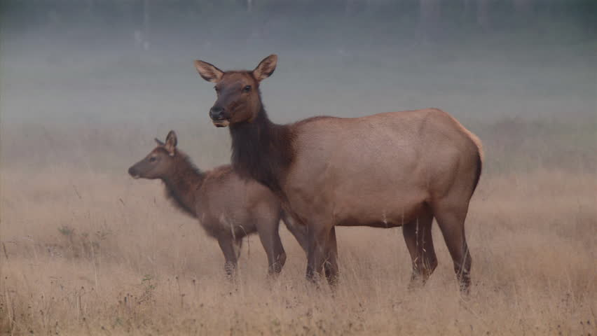 Still shot of mother and baby elk eating | Shutterstock HD Video #3915065
