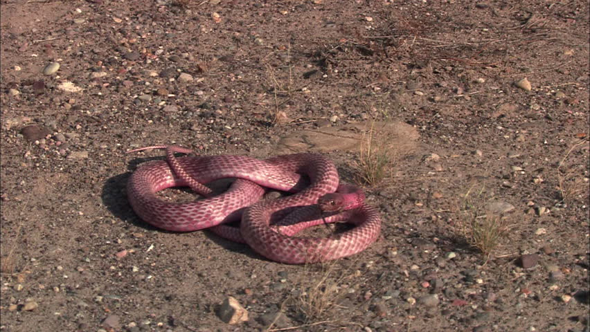 Follow a snake moving quickly along the ground | Shutterstock HD Video #3916082