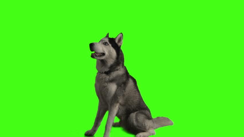 Husky dog on green screen   Shutterstock HD Video #3917018