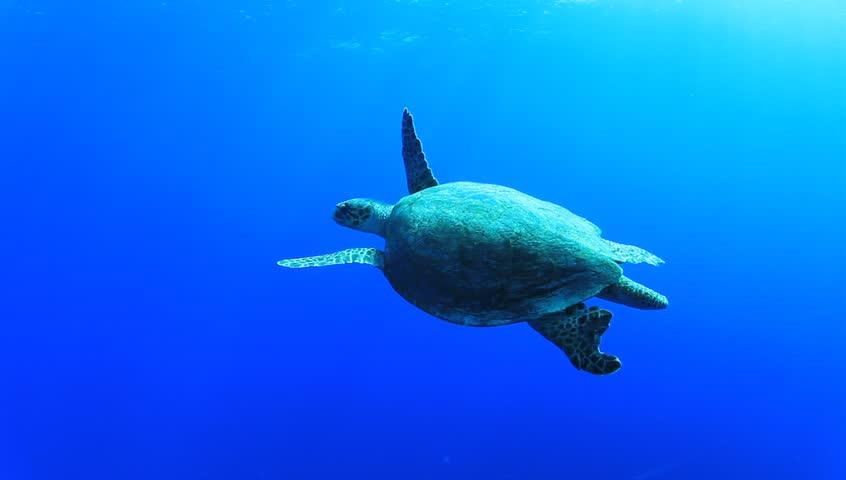 HD Video Footage of Hawksbill Sea Turtle swimming underwater in ocean - HD stock footage clip