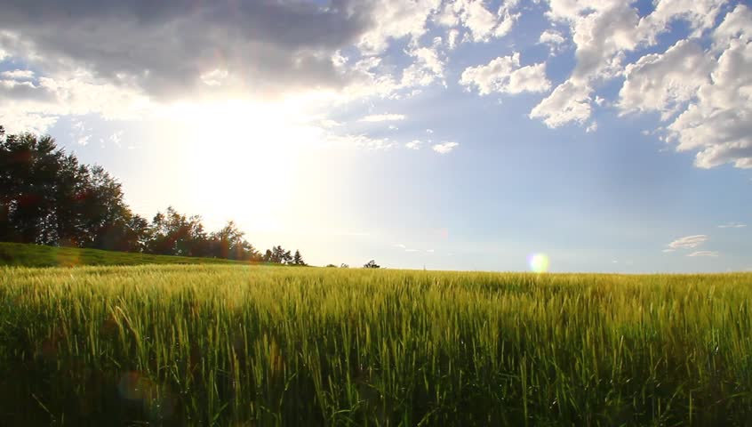 Beautiful Fields Of Barley In The Afternoon. Stock Footage