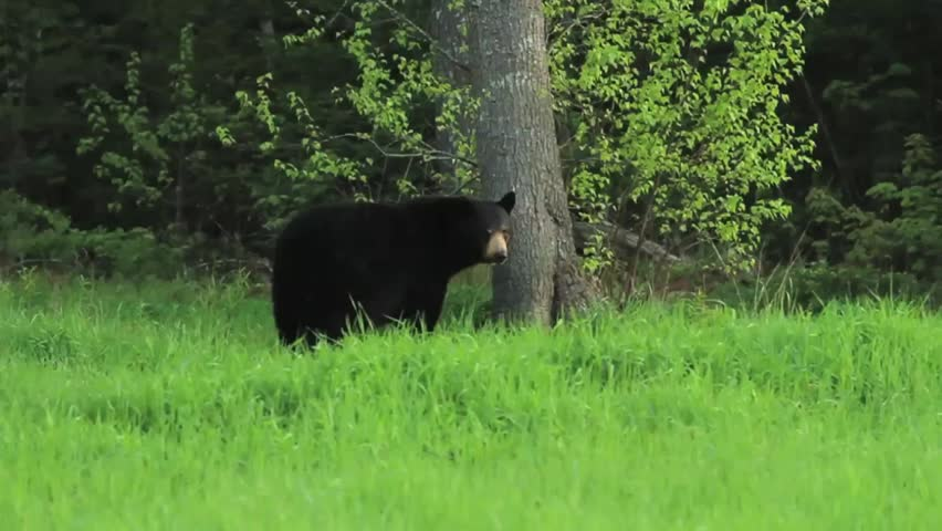 Maine Black Bear scratches its back on a tree