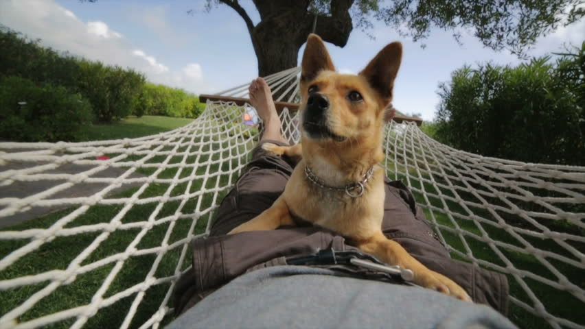 Funny Dog sitting on owners lap and swinging on the hammock in the backyard - HD stock footage clip