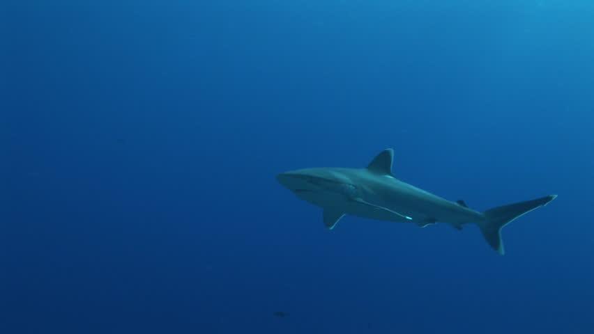 silvertip sharks cruising the reef - HD stock video clip