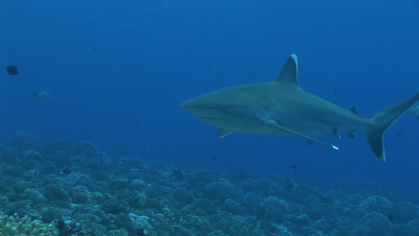 silvertip sharks cruising the reef - HD stock footage clip