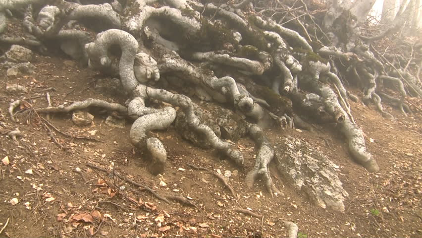 Roots of mountain trees.  - HD stock video clip