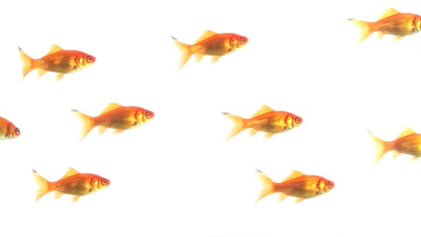 Group of Goldfish