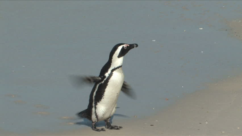 An African Penguins also know as Jackass Penguin running a round flipping wings on a nesting beach in Cape of Good Hope, South Africa