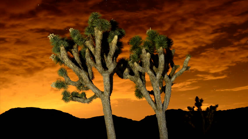 Time Lapse of Joshua Trees at Night - Joshua Tree National Park - HD stock footage clip