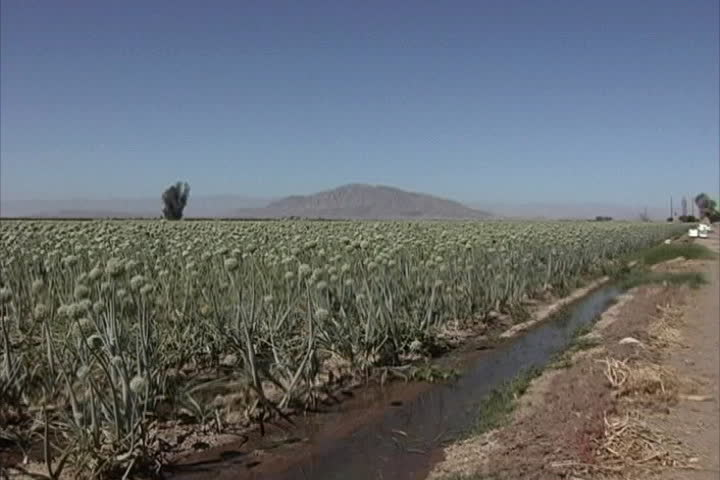 Onion crop Imperial Valley