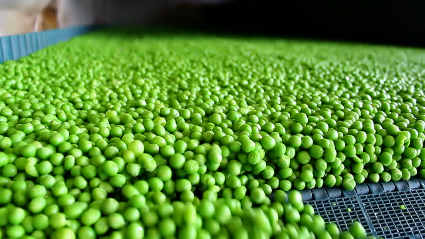 processing peas ;  fresh green peas on a treadmill in the production and processing in food industry,video clip - HD stock video clip