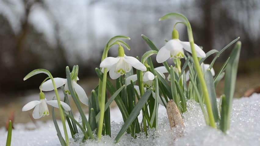 First Spring Snowdrop Flower In Snow Closeup Stock