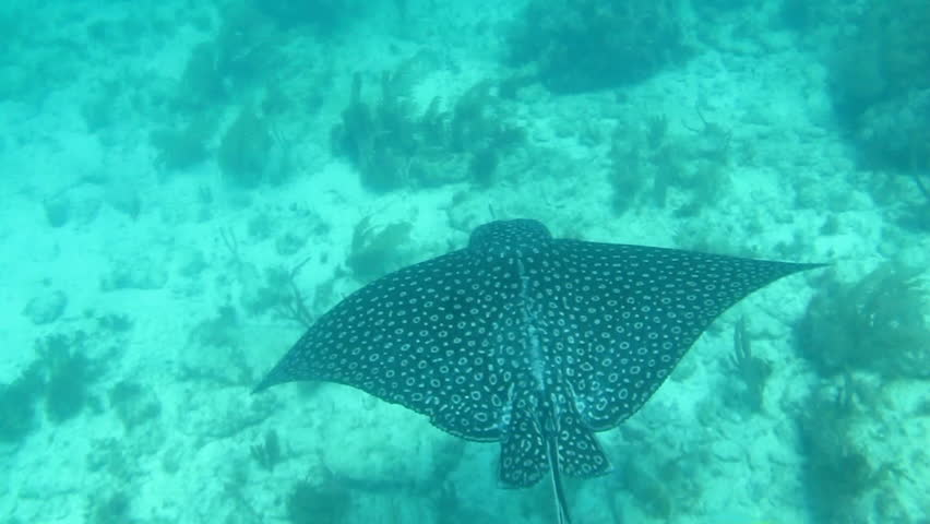 Spotted Eagle ray, Caribbean reefs. - HD stock footage clip
