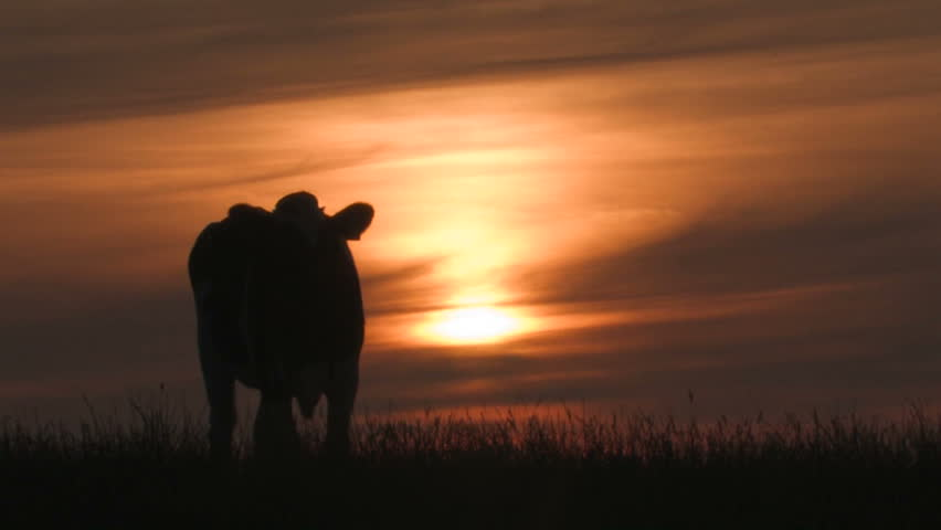 Cow grazing at sunset - HD stock footage clip