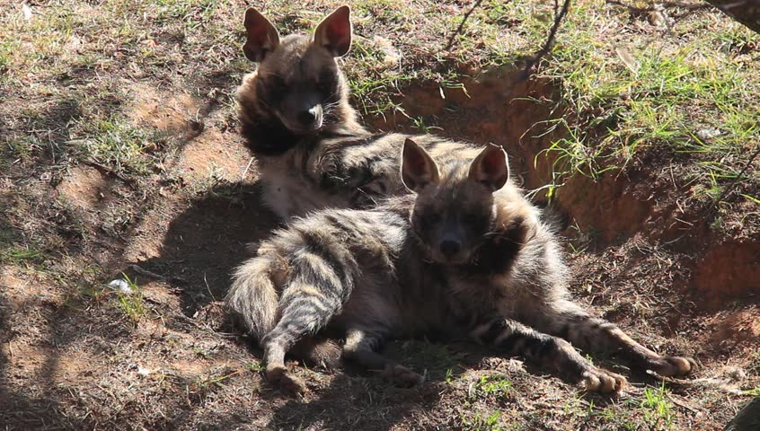 Two striped hyenas  resting in a shallow hole at a zoo in Johannesburg