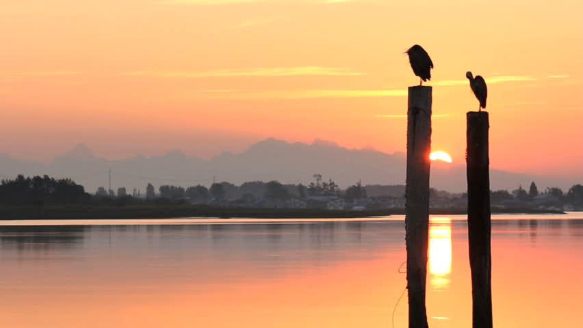 Great Blue Herons on pilings preening feathers at sunrise seen from Delta, British Columbia near Vancouver. The waterway is the Fraser River near it's mouth as it makes it's way to the Pacific Ocean.
