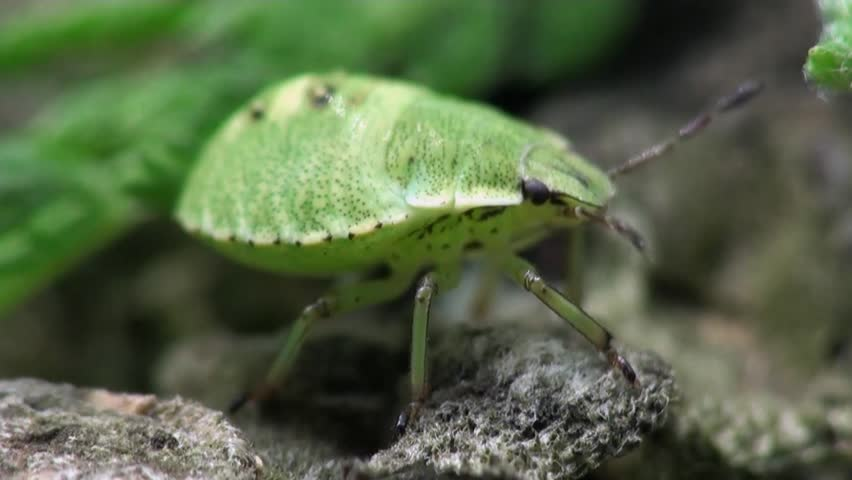 Small green beetle macro - HD stock footage clip