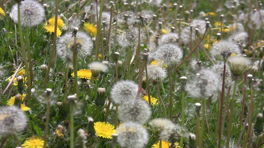 Dandelions in the breeze.  - HD stock video clip