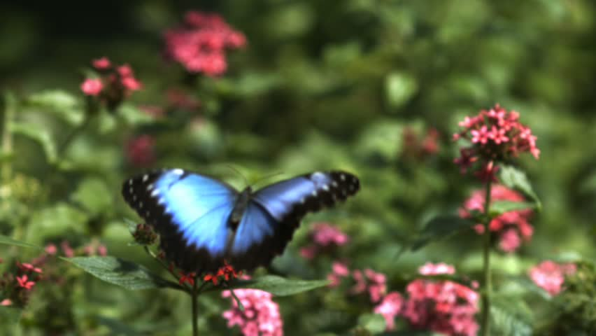 Close-up of a bright blue butterfly flying around a red flower