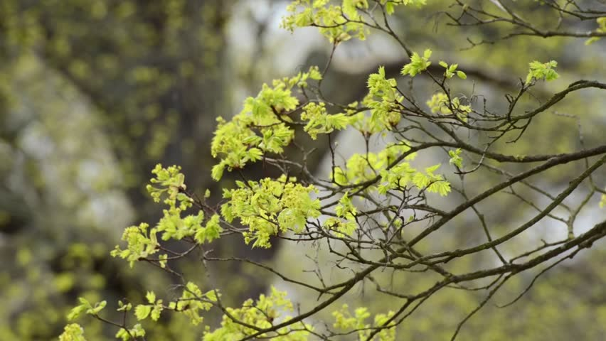 Header of Acer Platanoides