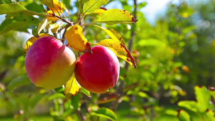 woman picks an apple stock footage video 12662339