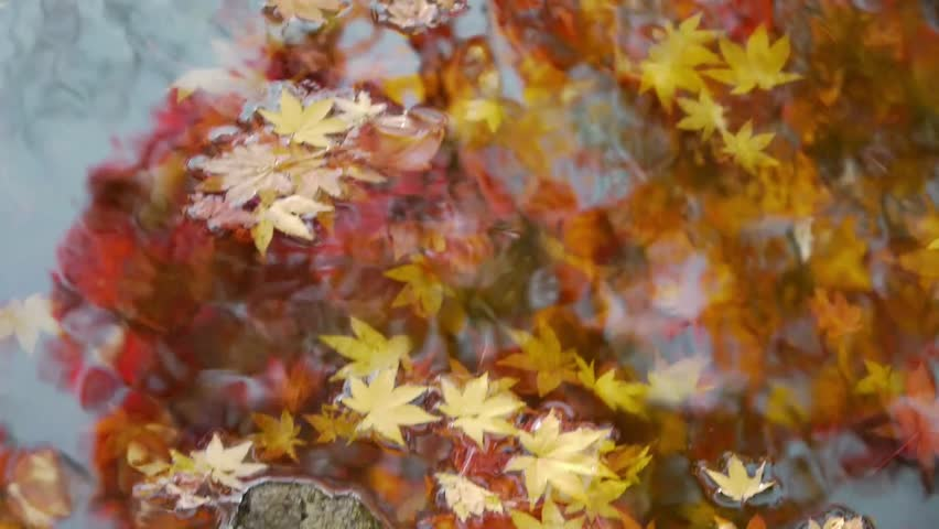 Japanese Maple Trees under water with Reflection - HD stock footage clip